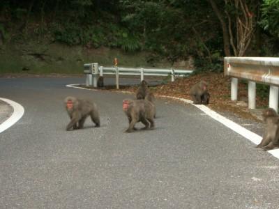 屋久島1・西部林道のヤクザル 040 (640x480)