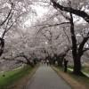 淀川背割堤の桜並木を歩いてきた。