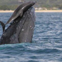 「イルカに乗った少年」ならぬ「クジラに乗ったイルカ」。