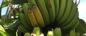 日本産、「奇跡のバナナ」。 凍結解凍覚醒法。