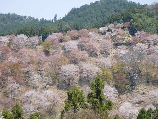 吉野の山で満開の桜と絶景を愛でてきた。