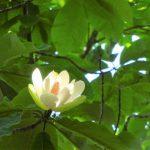 ホオノキの大輪の白い花。