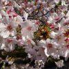 弘川寺(富田林)で、山の桜を堪能。