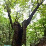 山で巨木に出会う楽しみ。