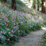 岩湧寺の秋海棠が真っ盛り。